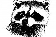 raccoon_2